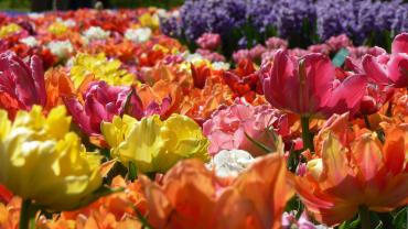 Сезон цветения тюльпанов в Нидерландах